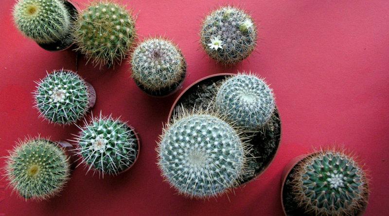 las-rabonas-cactus