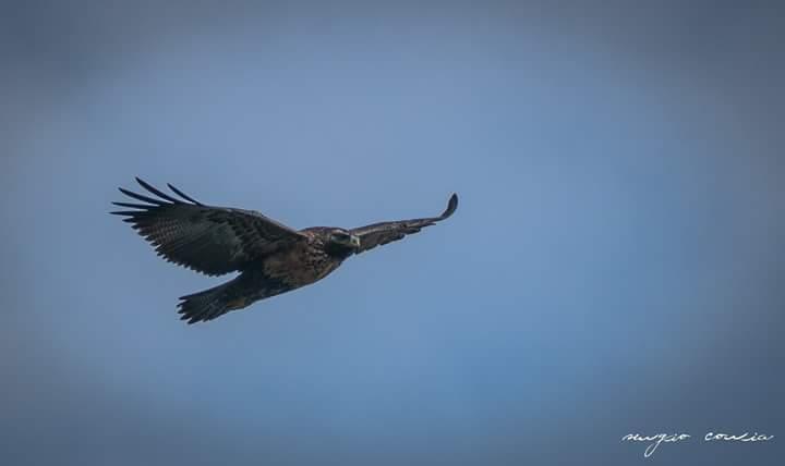 Arabela, el águila